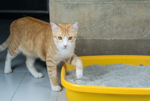 Se il tuo Gatto fa pipì fuori dalla lettiera igienica…