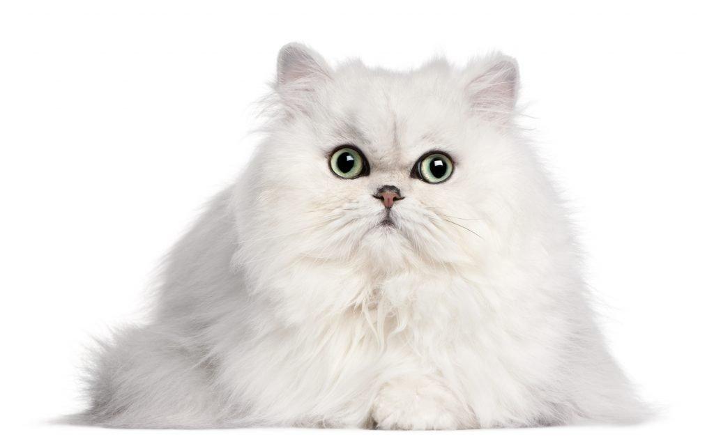 toelettatura gatti