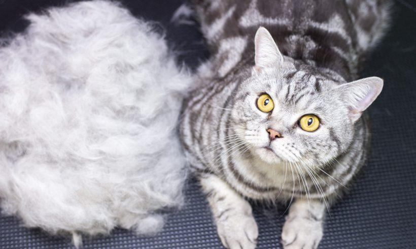Niente più boli di pelo per il tuo Gatto: scopri come!