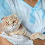 come aiutare un gatto post operazione