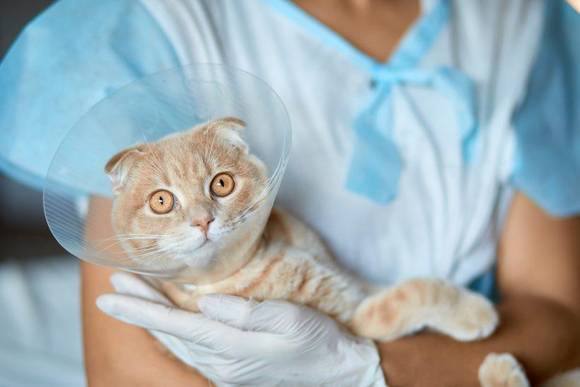 Come aiutare il tuo Gatto post operazione